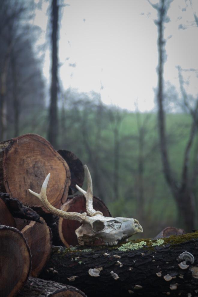 photo of a deer skull