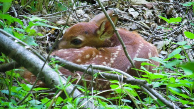 photo of a spotted fawn