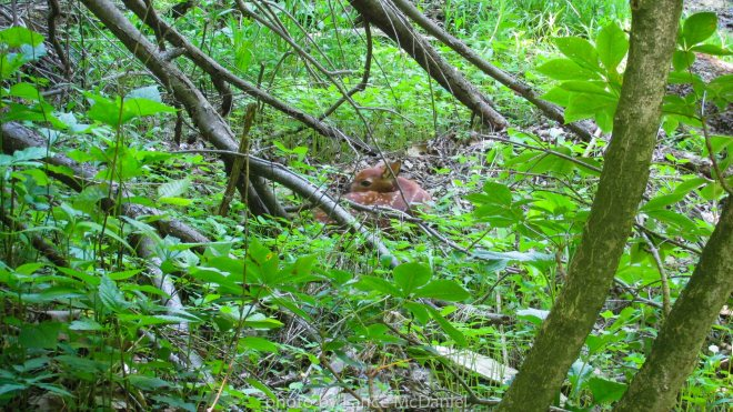 photo of hidden fawn