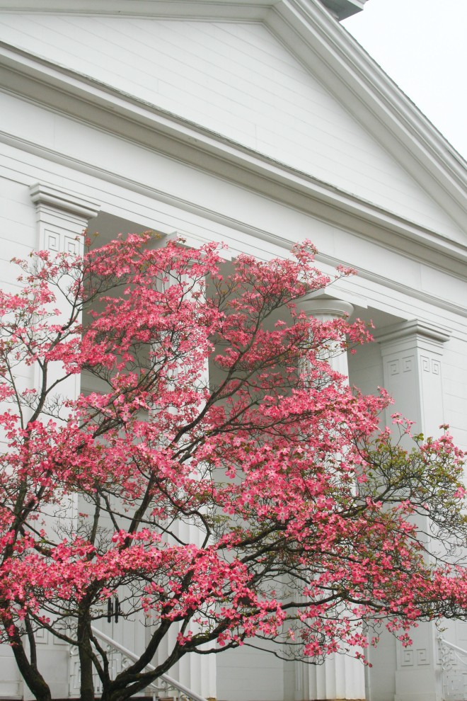 photo of blossoming pink dogwood trees