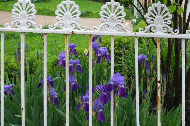 photo of purple irises