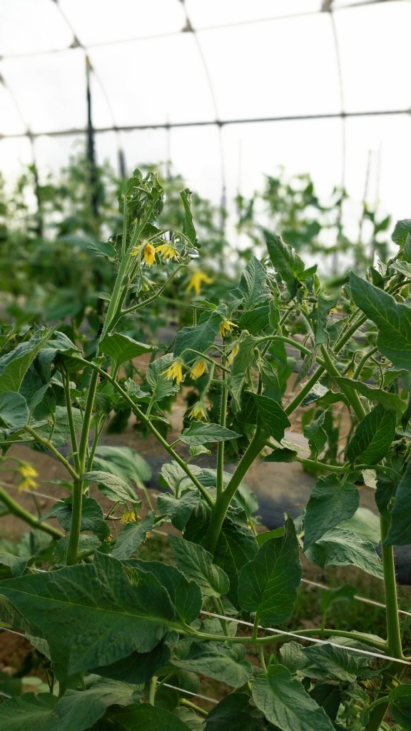 photo of blossoming tomato plants trellised in a high tunnel