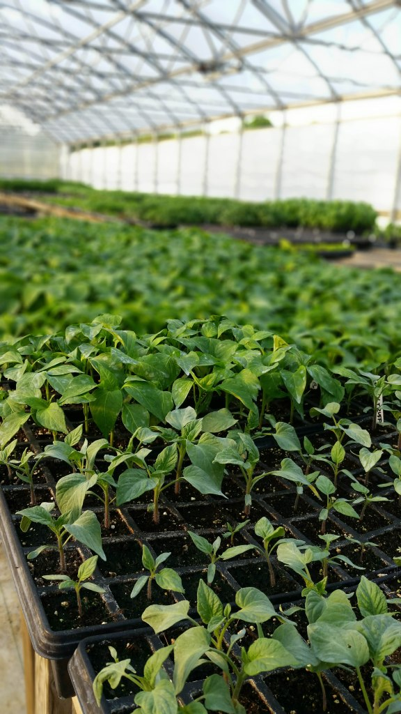 photo of young pepper plants in a greenhouse