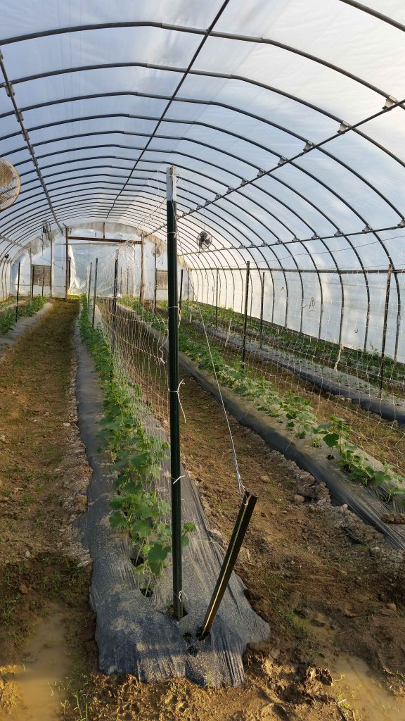 photo of cucumber trellises in a high tunnel