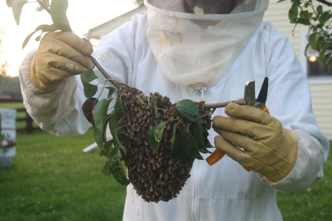 photo of a beekeeper holding a small swarm of bees on a clipped branch