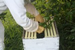 photo of a beekeeper placing bees in a bee box