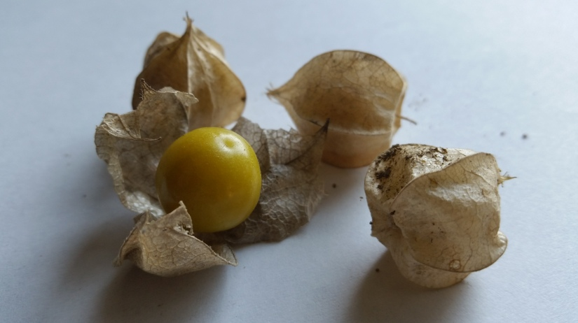 Husk Tomatoes…A Happy Discovery