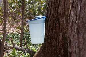 sap bucket hanging at Dawes Arboretum