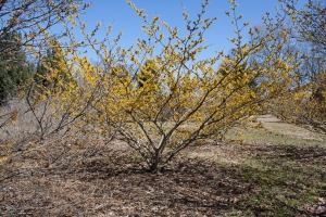 Witch-hazel trees are often as wide as they are tall.
