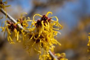 witch-hazel blossom