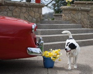 previously unpublished photo of dog and daffodils <3