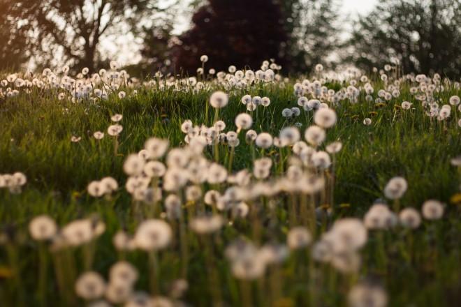 Dandelions-6